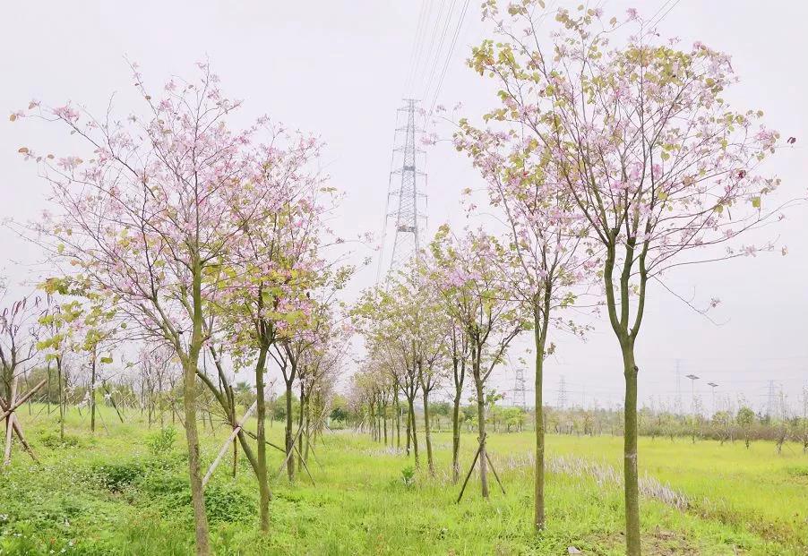 绿岛湖紫荆花1.jpg